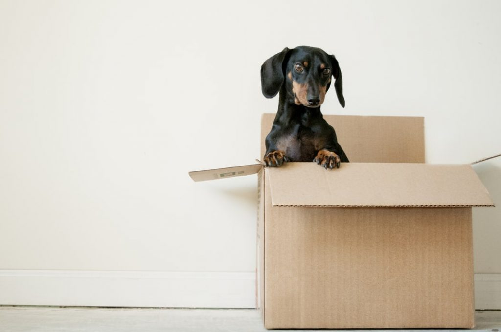dog peeking out from inside an empty moving box